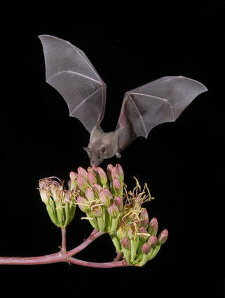 Short-nosed Bat