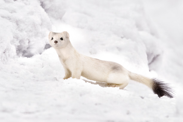 White-tailed Weasle