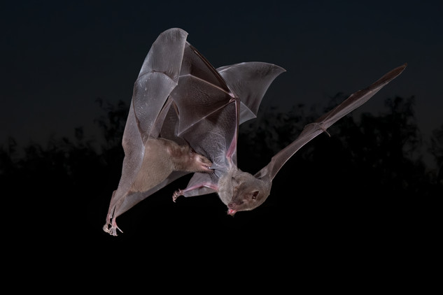 Lesser long-nosed Bats