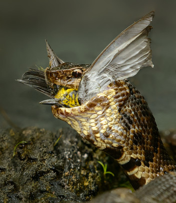 Black-throated Green warbler & Water Moccasin