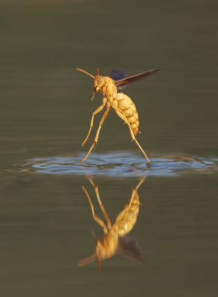 Golden Wasp