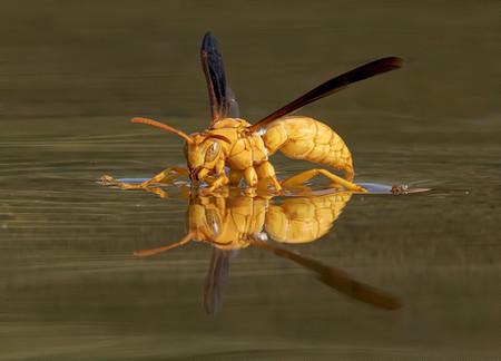 Golden Wasp