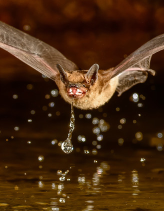 Long-eared Myotis