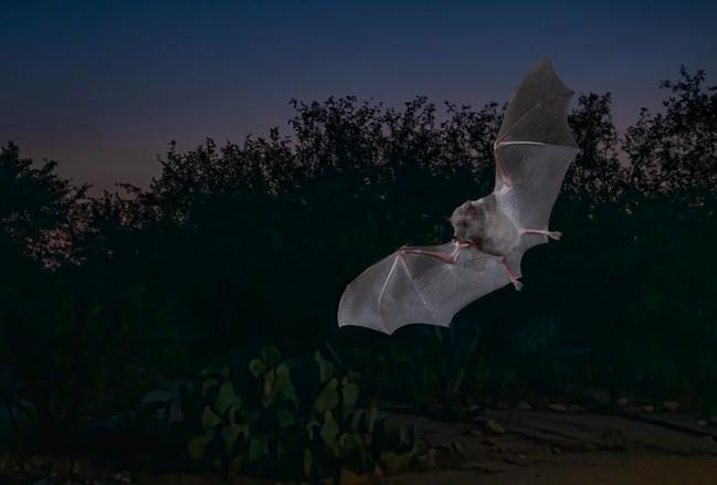 Short-nosed Bat