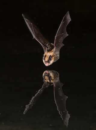 Long-eared Myotis