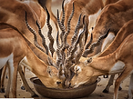The Gazelles.png