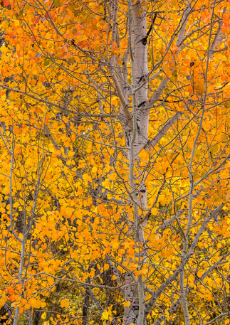 Fall Color in the Tetons