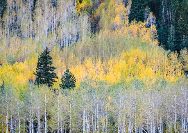 Pine and Aspen