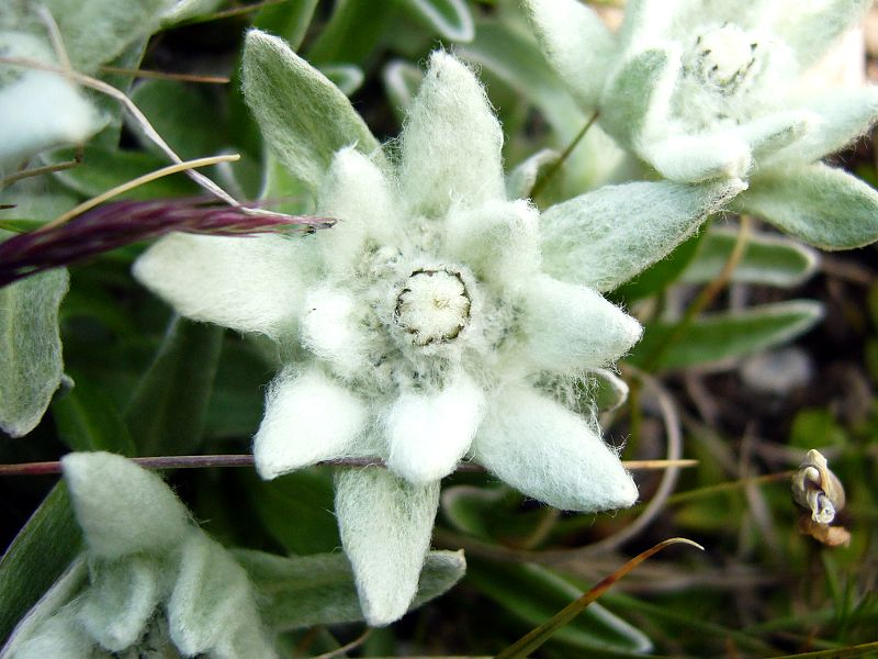 La fleur d'Edelweiss, un symbole...