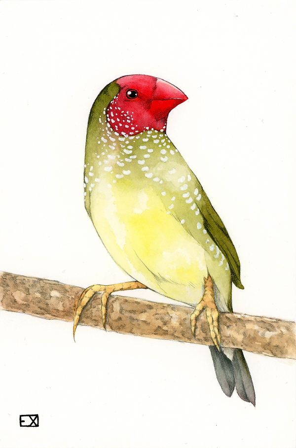 star finch02.png