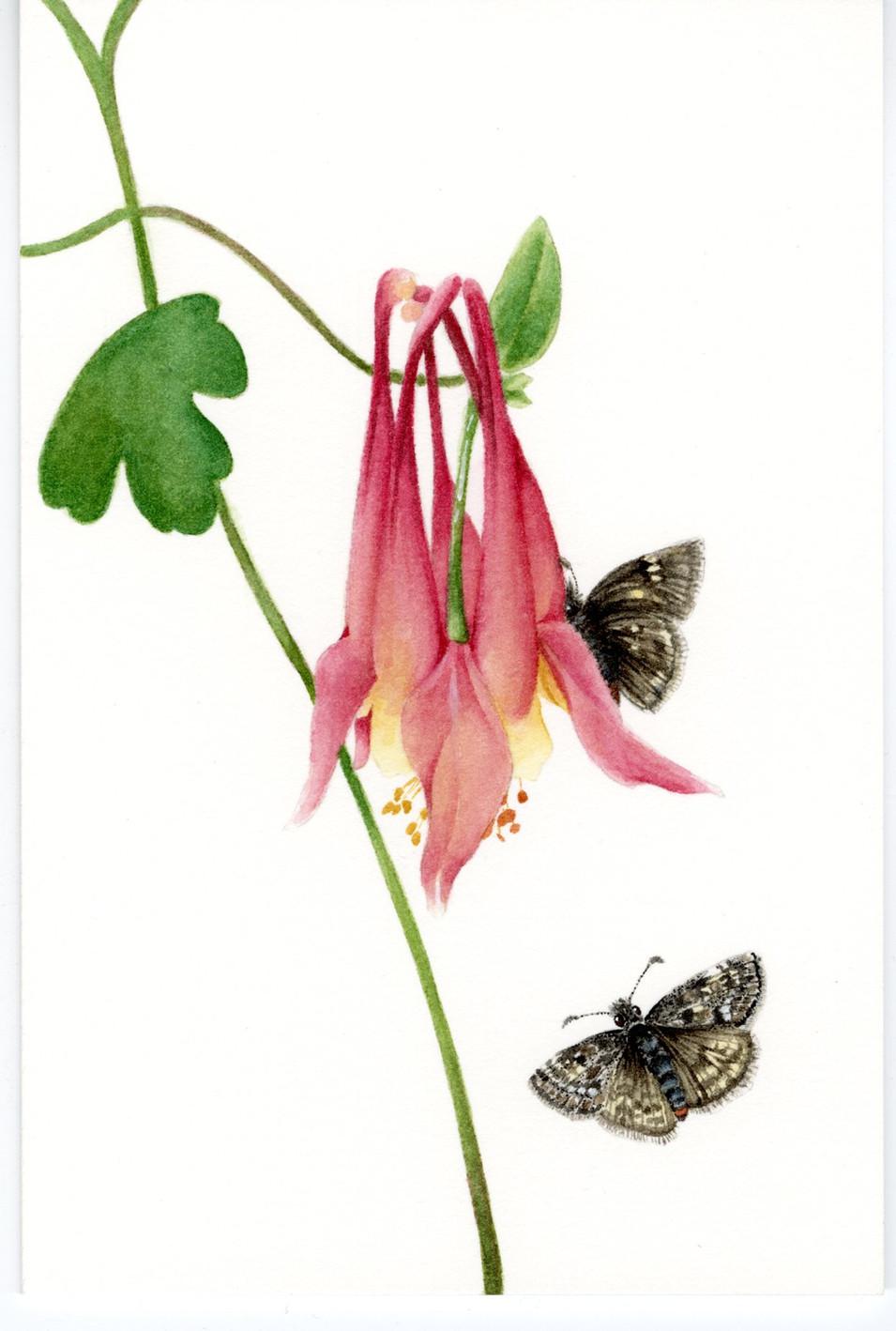 Duskywing Butterfly