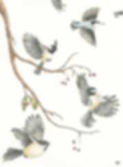 chickadees and nuthatches2 small.png