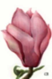 magnolialarge2.png