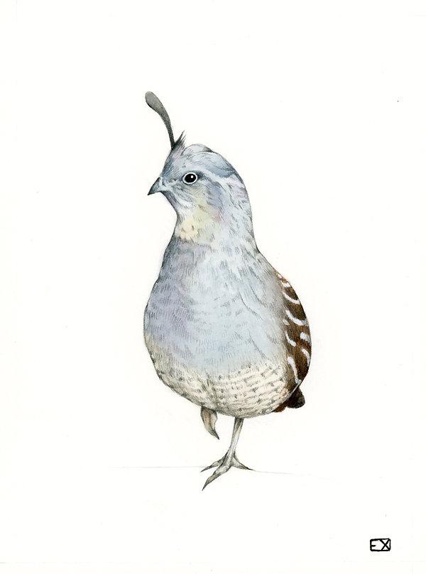 gambel quail.jpg