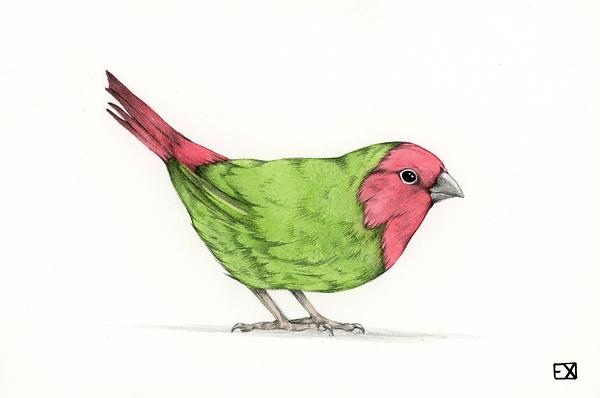 redthroatedparrotfinch2.png