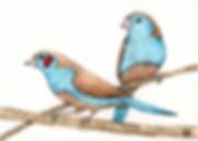 cordon bleu finches.png
