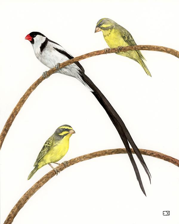 3BIRDSfinch2.png