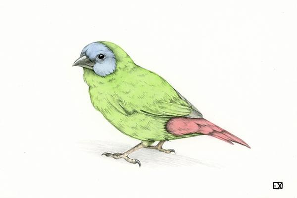 bluefacedparrotfinch.png