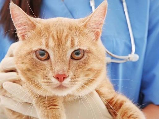 Аллергия у кошек: как проявляется, причины и советы по лечению
