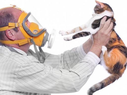 Аллергия на кошек и любовь к котятам? Можно совмещать!  Кошки для аллергиков