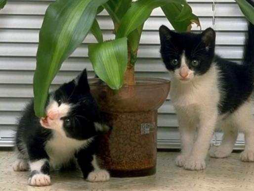 Ядовитые и опасные комнатные растения для кошек и котят