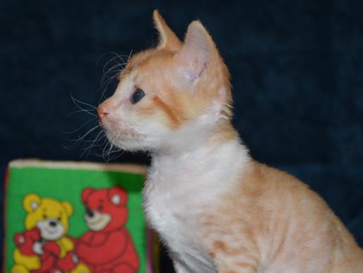 Рыжий кот, красная кошка - все о красных окрасах кошек разных пород!