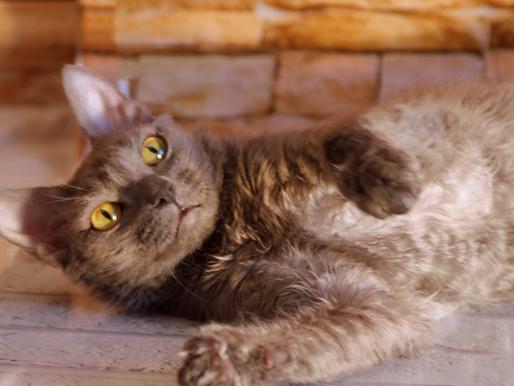 Стандарты породы кошек породы уральский рекс