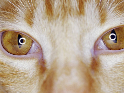 Глаза - зеркало души или как сохранить здоровье глаз кошки