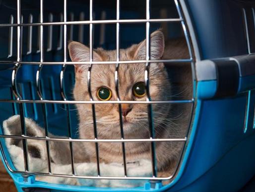 Перевозка домашних животных в разных видах транспорта, как перевозить кошек в самолете и автомобиле?