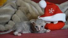 Человек и кошка уральский рекс: у кого спросить совет?
