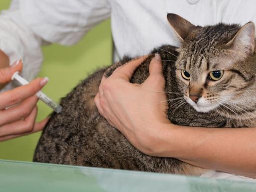 Вакцинация для кошек - способ избежать множества болезней