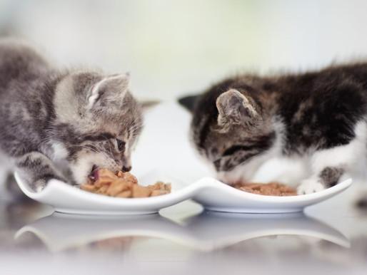 Прикорм котенка: с чего начать, когда стоит приучать к воде и давать сухой корм?