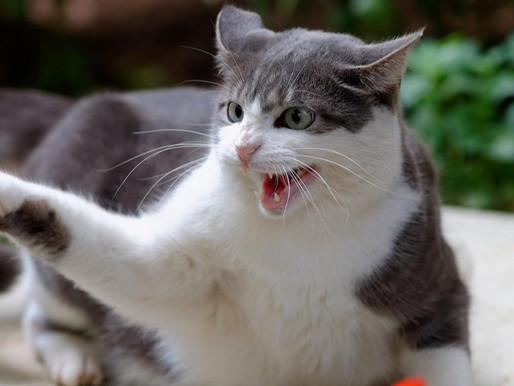 Агрессия у кошек и котов: основные причины и способы решения проблемы. Что делать?