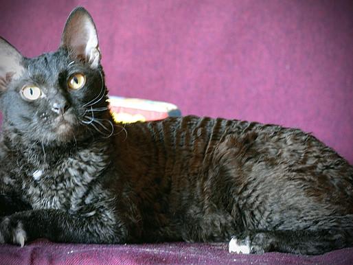 Кошка породы уральский рекс: уход за ее шерстью