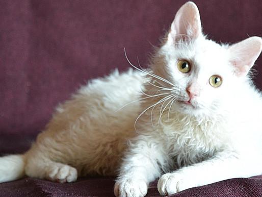 Кошка породы Уральский рекс - русская кошка,