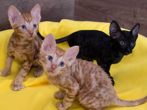Чем руководствоваться при выборе котенка Уральский рекс?