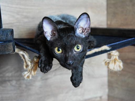 Черный кот уральский рекс - мифология, история и интересные факты о черных кошках