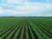 soybean-field-1610754.jpg