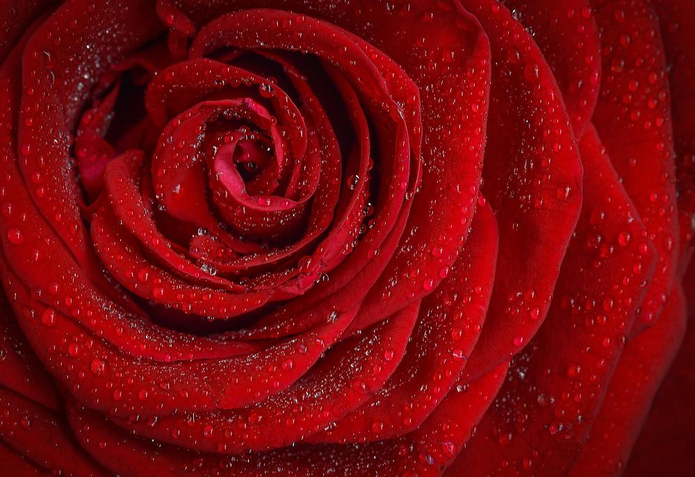 rote_Rosenblüten