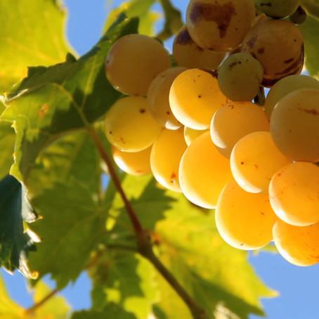 Le vin des terres lyonnaises - David Geoffroy | Documentaire TV 52'