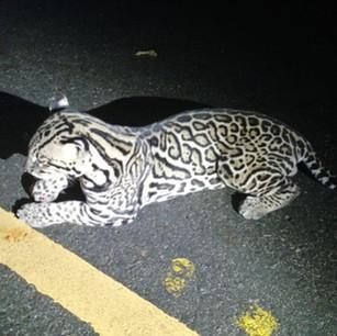 El Muchachón, perdió la batalla después de ser atropellado en carretera