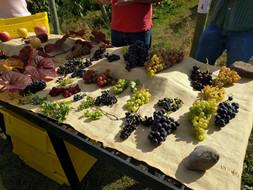 Geneva Grape Apple collection