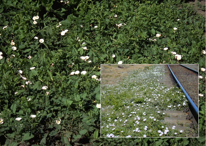 A bindweed infestation looks pretty but is not