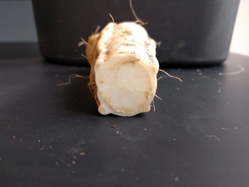 Ipomoea root latex