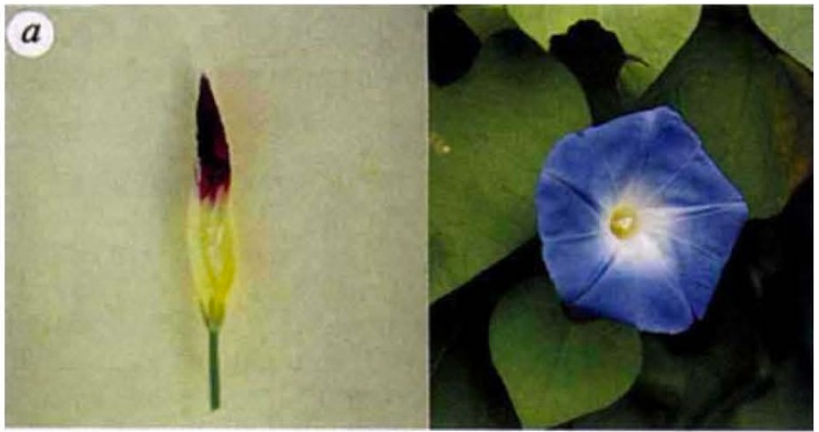 Color transition in Ipomoea tricolor cv Heavenly Blue. Click on image for the original paper.