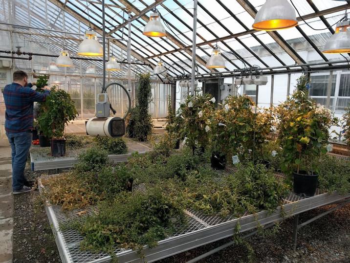 Convolvulaceae bench