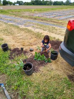 Sweet potato planting
