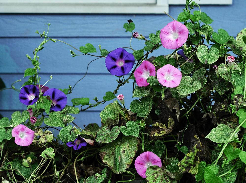 Beautiful morning glory flowers