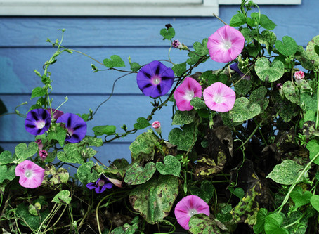 Morning Glories Part 1 -- Heavenly Blues and Vulcan Whites