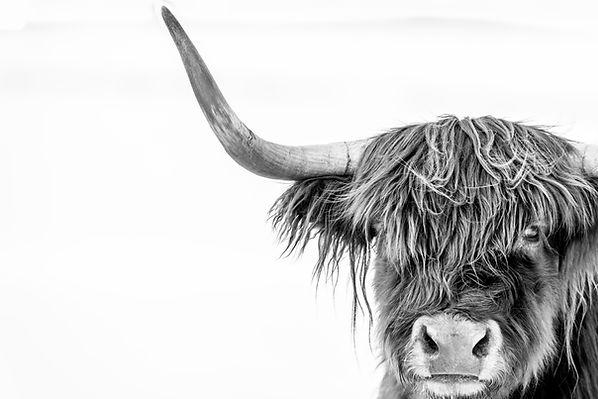 Scottish Highlander 1.jpg